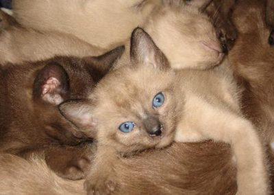 Natural Mink Tonkinese kitten