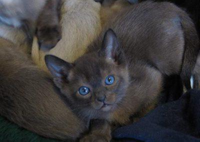 Natural Solid Tonkinese kitten